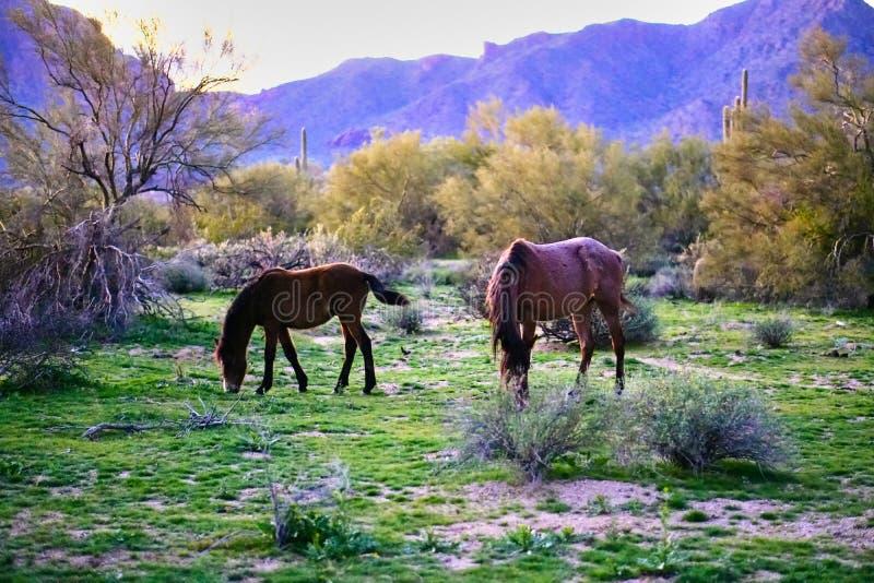 Wild paarden op het pima-Maricopa Indische Reserveland door de Lagere Zoute Rivier in Arizona worden gevestigd dat stock foto's