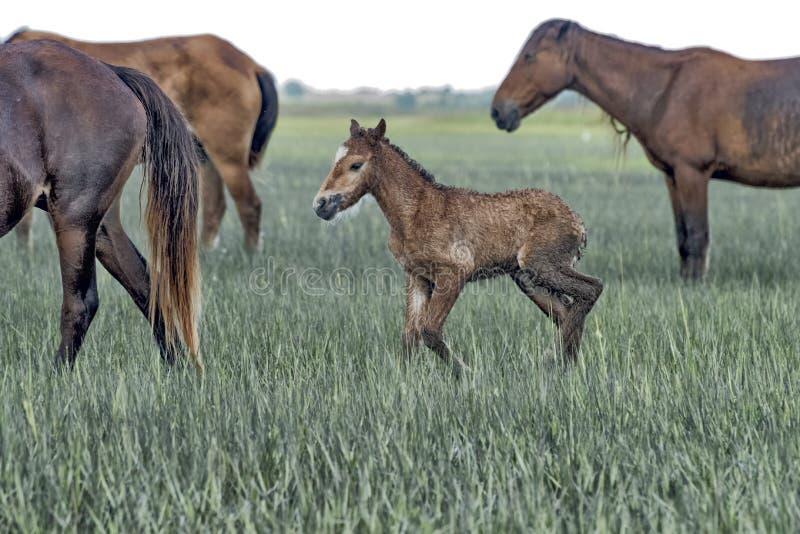 Wild paarden in outerbanks van Noord-Carolina royalty-vrije stock afbeelding