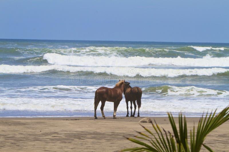 Wild paarden van Costa Rica stock afbeeldingen