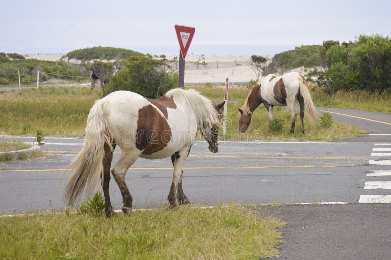 Wild paarden van Eiland Assateague stock foto's