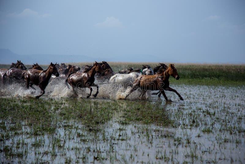 Wild paardkudden die in het riet, kayseri, Turkije lopen royalty-vrije stock afbeelding