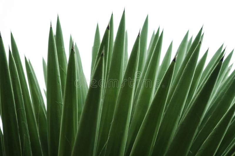 Wild palmetto with isolated white background, pattern of green pointy leaves, beautiful texture background. Wild palmetto with isolated white background, pattern stock photography