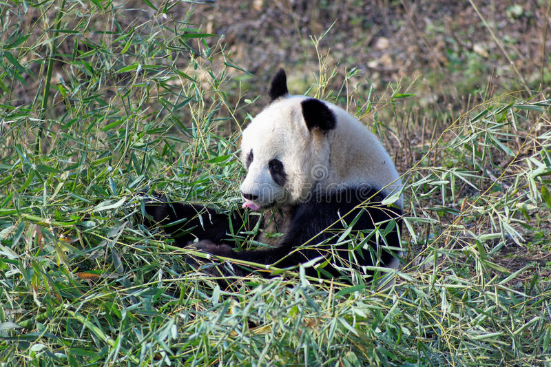 Wild panda bear in Qinling mountains, China. Pandas live mainly in bamboo forests high in the mountains of western China stock photography