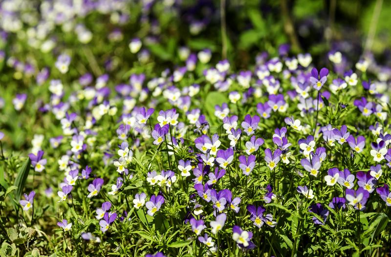 Wild pansies, Viola tricolor, blooming on a rock stock image