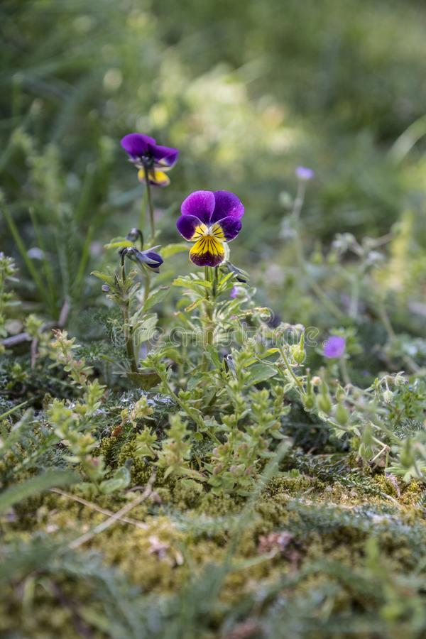 Wild pansy viola in the background of a green garden blurred background. Viola cornuta, horned pansy, tufted pansy.  stock photos