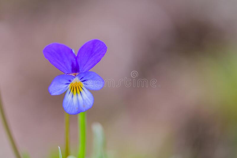 Wild pansy Viola tricolor flower. Close-up of a flower from a Viola tricolor plant, showing the papillae finger-like and petal. Structure. Nature. Travel stock image