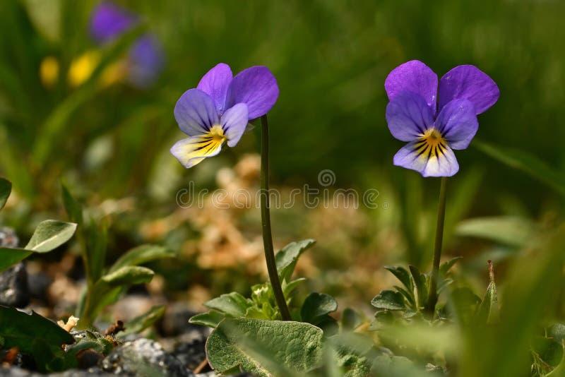Wild pansy, Viola tricolor royalty free stock photos