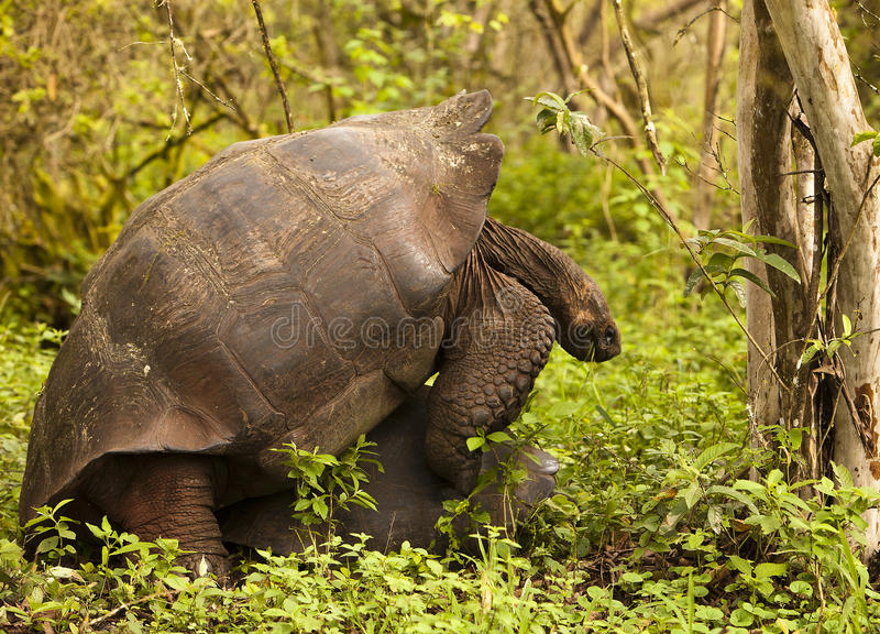 wild parande ihop sköldpaddor arkivfoton