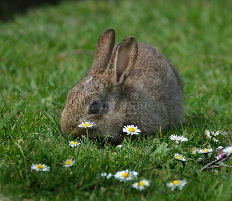 Wild part grown rabbit feeding on house lawn. Wild part grown rabbit feeding on house lawn in urban area royalty free stock photo