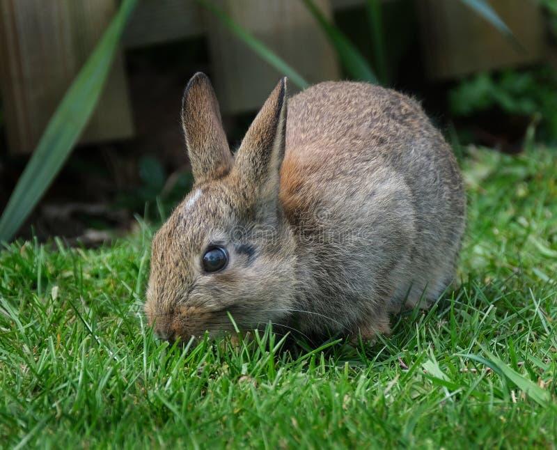 Wild part grown rabbit feeding on house lawn. Wild part grown rabbit feeding on house lawn in urban area stock image