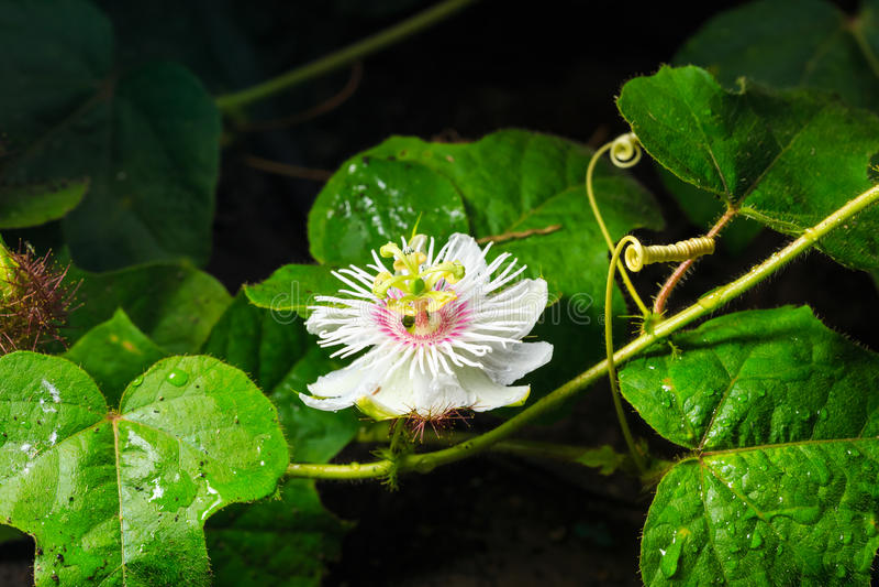 Wild passiflora or wild passion flower stock photo