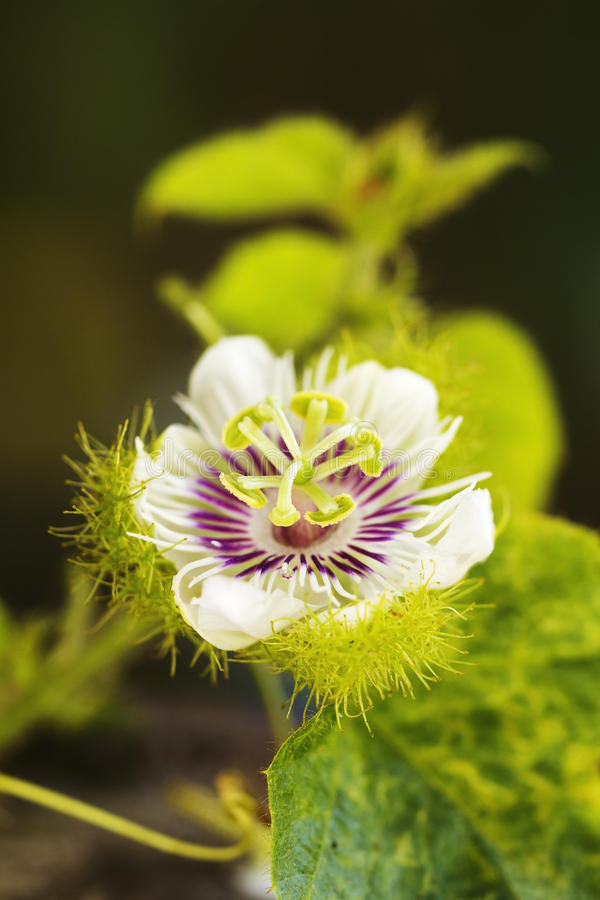 Wild Passionflower royalty free stock image