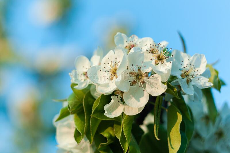 Wild Pear tree blossom. Horizontal banner with white flower on cyan color blurred backdrop.Spring nature card background. Wild Pear tree blossom. Horizontal stock image