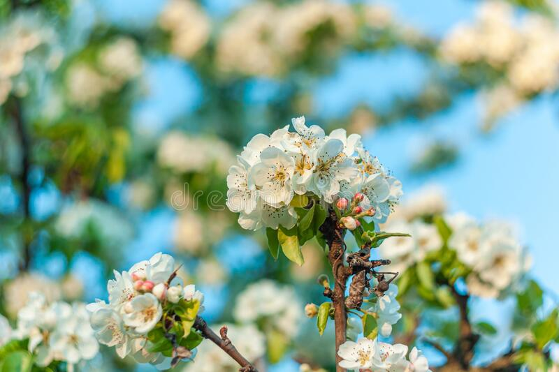 Wild Pear tree blossom. Horizontal banner with white flower on cyan color blurred backdrop.Spring nature card background. Wild Pear tree blossom. Horizontal royalty free stock images
