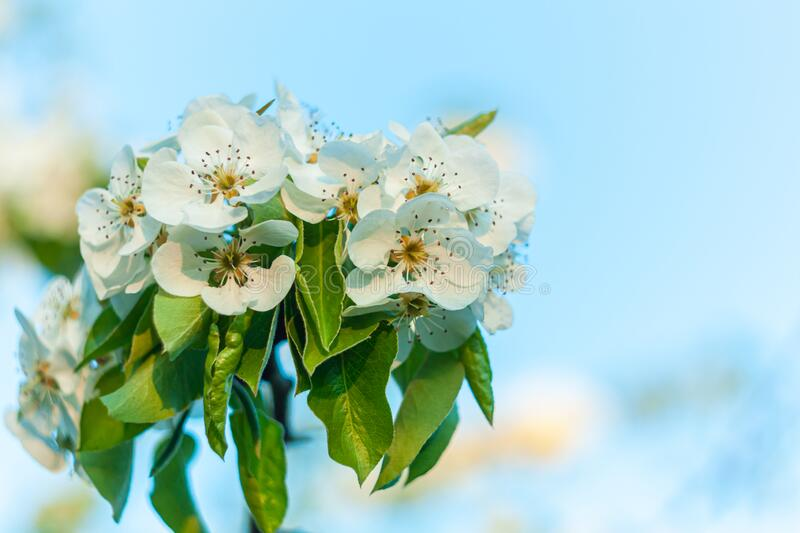 Wild Pear tree blossom. Horizontal banner with white flower on cyan color blurred backdrop.Spring nature card background. Wild Pear tree blossom. Horizontal royalty free stock photo