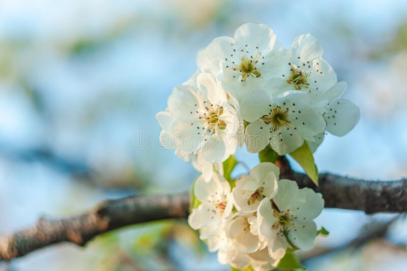 Wild Pear tree blossom. Horizontal banner with white flower on cyan color blurred backdrop.Spring nature card background. Wild Pear tree blossom. Horizontal royalty free stock photos