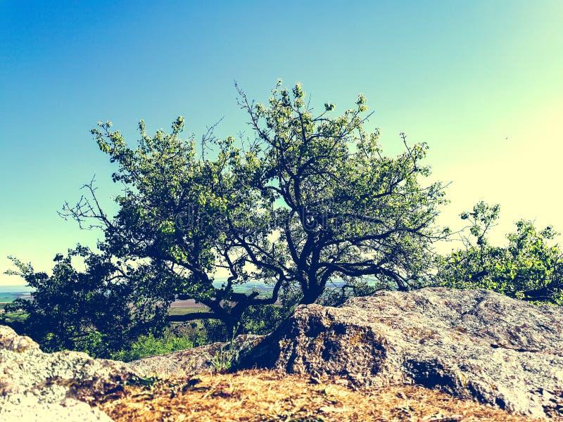 Wild pear tree royalty free stock photo