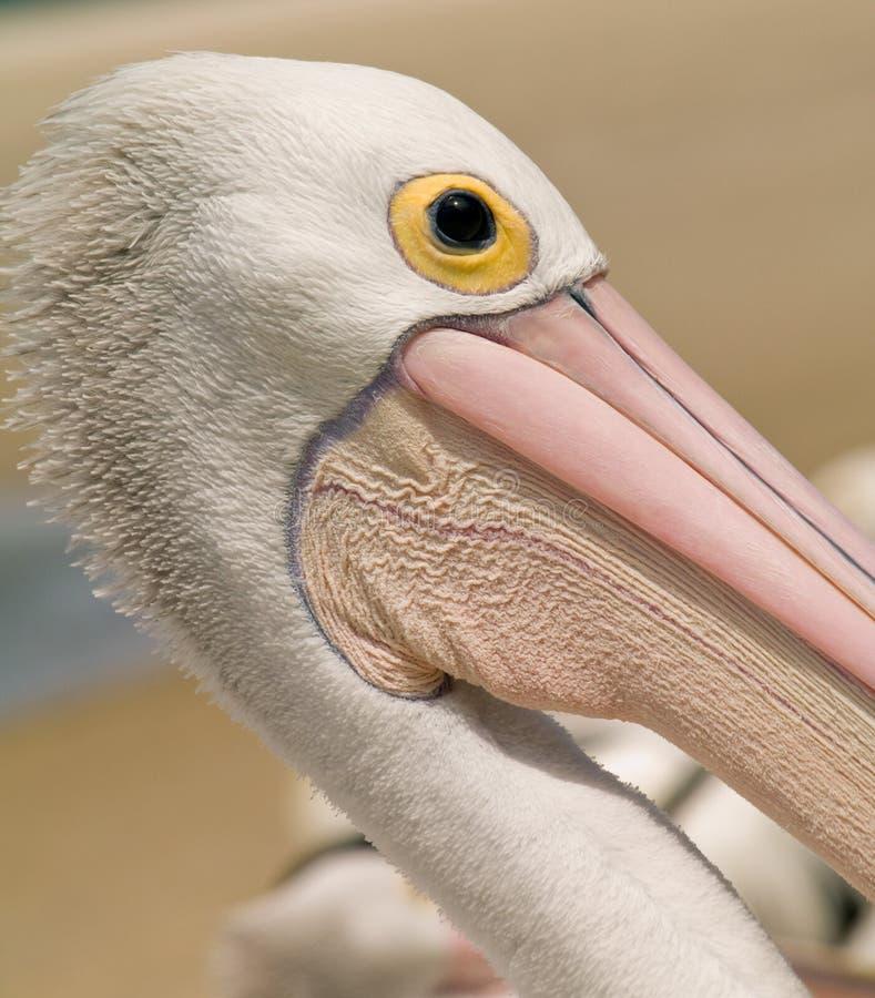 Download Wild Pelican Head In Australia Stock Image - Image: 28505113