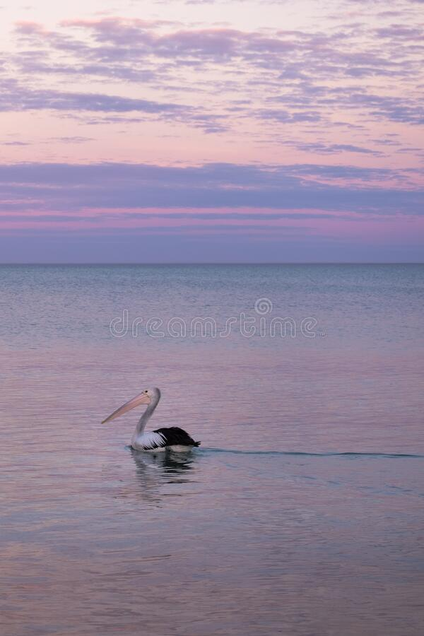 Free Wild Pelican Swimming At The Sea. Sunset Time, Pink Sky. Black And White Feathers, Pale Pink Beak. Vertical Picture. Whyalla, Eyre Stock Images - 194319774