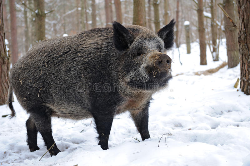 Download Wild pig stock photo. Image of wild, boar, mammals, flora - 16414352