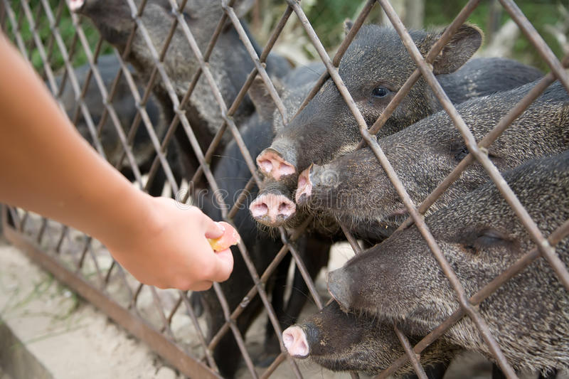 Download Wild pig stock photo. Image of snout, boar, safari, pigs - 19731928