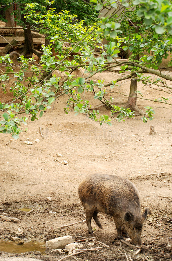 Download Wild pig stock photo. Image of moving, alert, background - 20237990