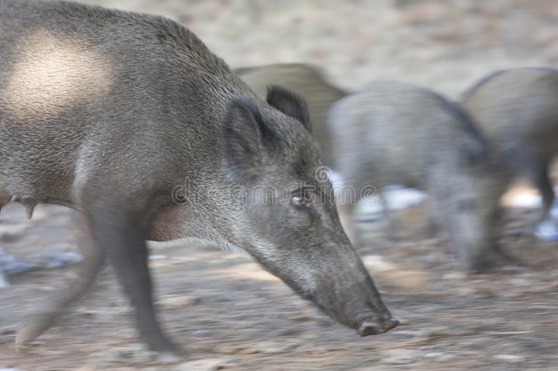 Download Wild pig stock photo. Image of creature, life, hunt, fear - 21246430