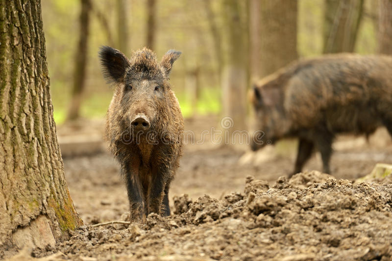 Download Wild Pig Royalty Free Stock Photo - Image: 24918415