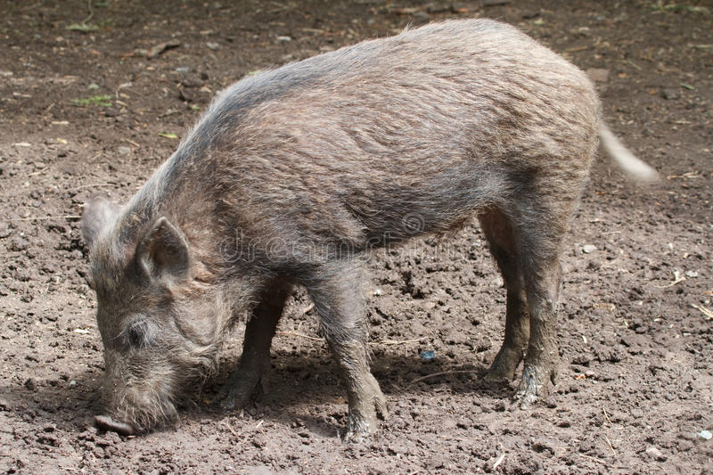 Download The wild pig stock photo. Image of grey, male, closeup - 25226110