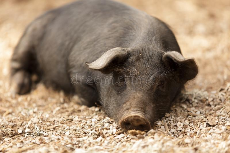 Download Wild pig lying stock image. Image of resting, black, detail - 26676439
