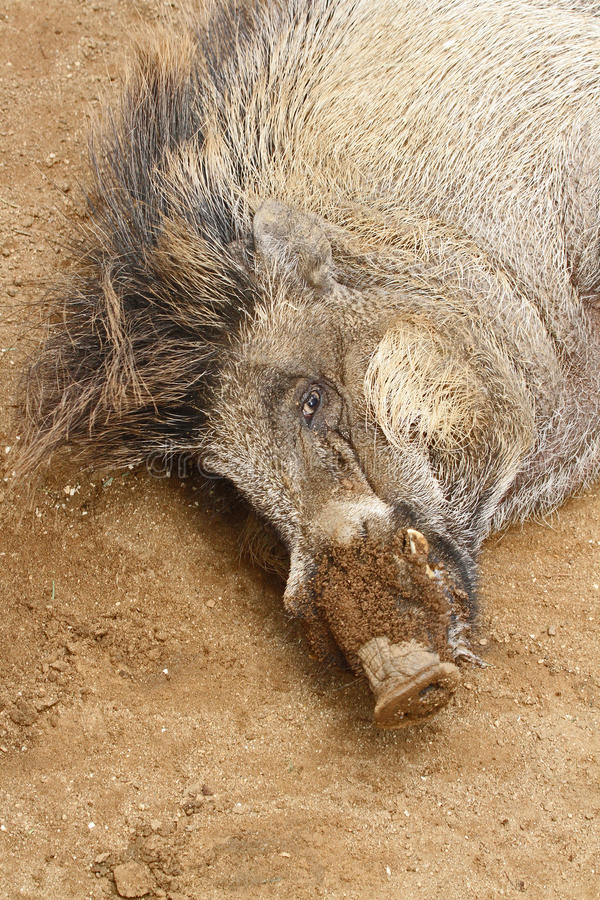 Wild Pig. Warty pig sleeping in sand stock photography