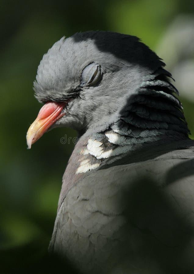 Wild pigeon sleeping royalty free stock image
