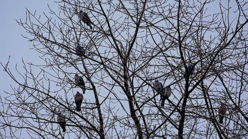 Wild pigeons sitting on thee branches of a bare tree. On a even greyish light blue sky stock photos