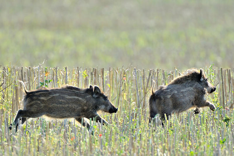 Download Wild piglets running stock photo. Image of action, nature - 25931720