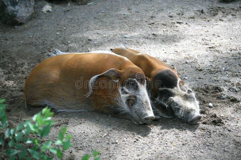 wild pigs arkivbilder
