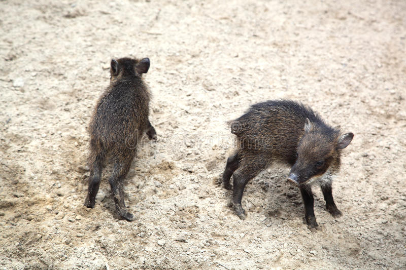 Download Wild pigs stock image. Image of piglet, dirt, cute, camera - 26073871