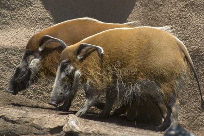Download Wild pigs stock photo. Image of brush, river, california - 2842620