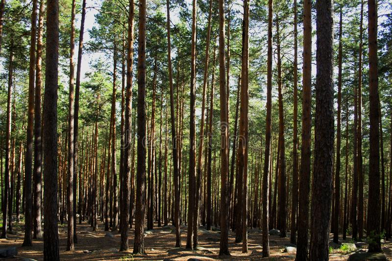 Wild pine forest. Ural. Sverdlovsk region, Russia stock photos