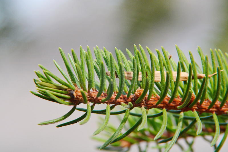 Wild Pine Needles with Green Ash Seed royalty free stock photos