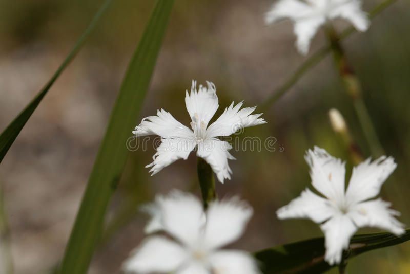 The wild pink Dianthus spiculifolius. Flower of the wild pink Dianthus spiculifolius royalty free stock photos