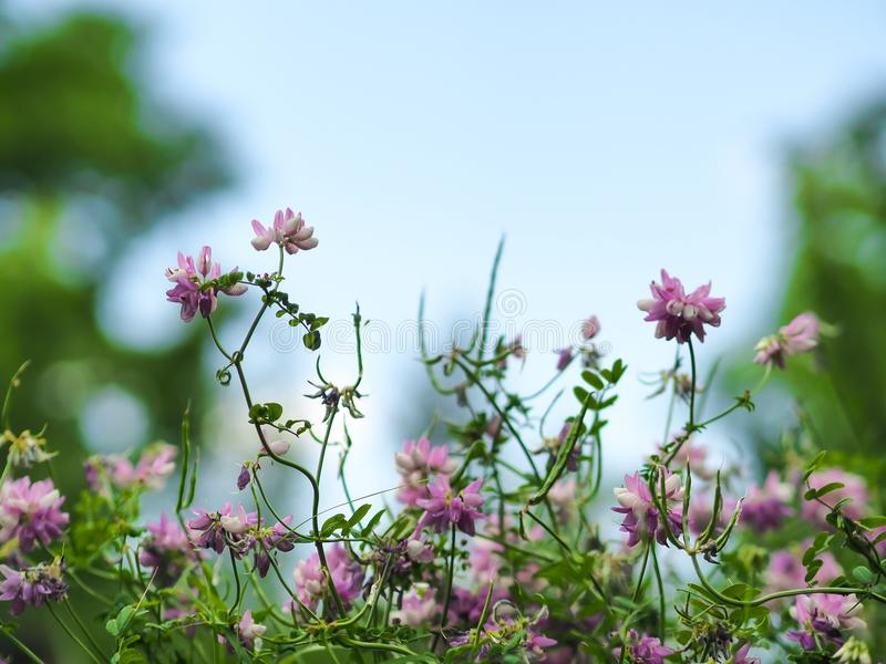 Wild pink flowers on green fields with blur blue sky in summer for background use stock photography