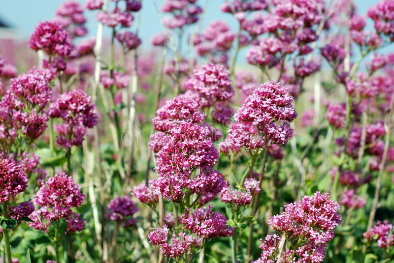 Wild pink flowers stock photo image of environment flowers 41313064 download wild pink flowers stock photo image of environment flowers 41313064 mightylinksfo Image collections