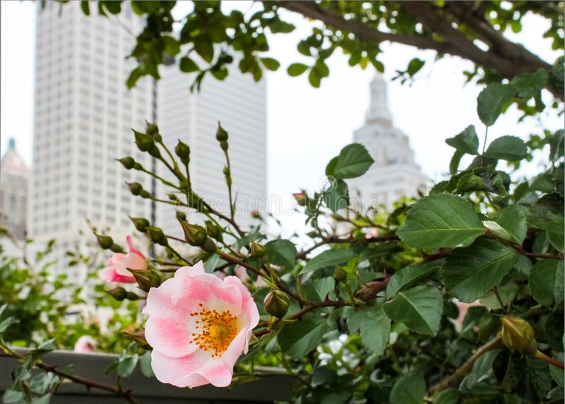 Wild pink rose with blurred skyline of Tulsa Oklahoma behind it royalty free stock images