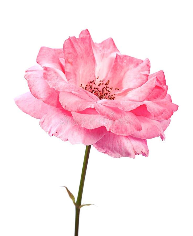 Wild Pink Rose Stock Photo