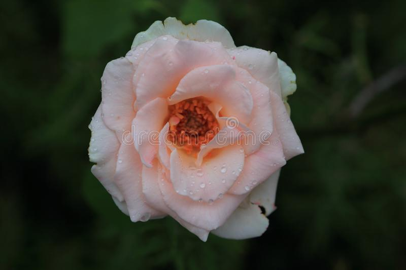 Wild pink rose after a rain stock image
