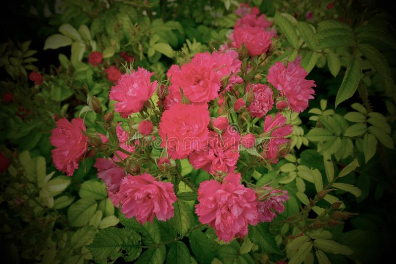 Bunch of Wild Pink Roses - Paris, France. Summer in France royalty free stock photo