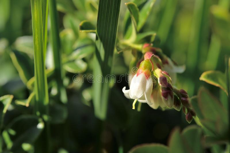 A wild plant with a string of flower-buds on a stalk. A small white flower with the shape of a calyx hangs downwards together with a string of flower-buds on the stock image