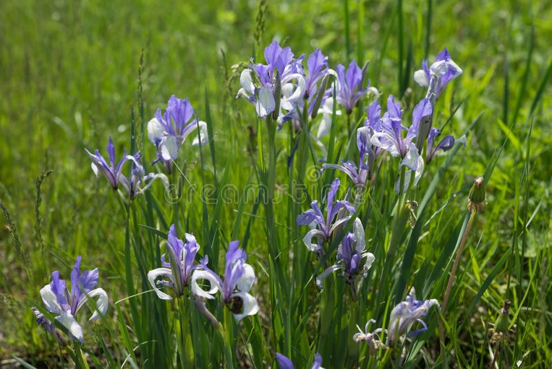 Bush flowering Blue flag or Siberian Iris Latin Iris sibirica grows in a green meadow stock photos