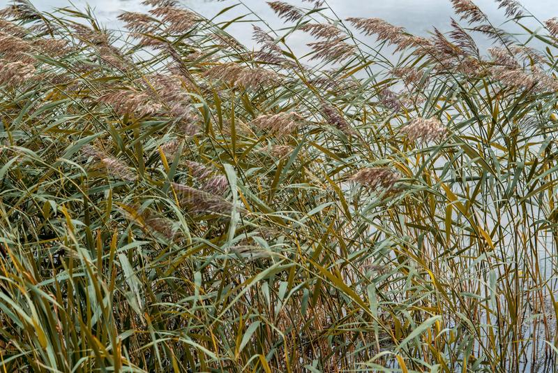 Wild plants or the blossoming marsh grass. The blossoming marsh grass or wild plants with long stalks and windy weather stock image