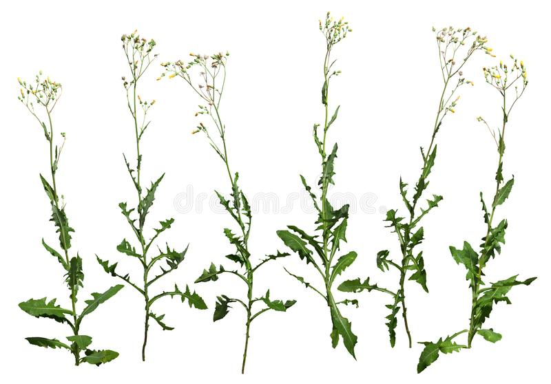 Cut out wild plants. Wildflowers. Wild lettuce. Wild plants isolated on white background. PNG file with transparent background also available. Cutout yellow stock photos